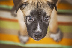 Puppy sitting on blanket and looking up. Little puppy sitting on a colorful blanket and looking up Royalty Free Stock Images