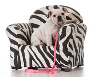 Puppy sitting in chair Royalty Free Stock Image