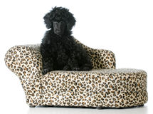 Puppy sitting on a couch Royalty Free Stock Photos