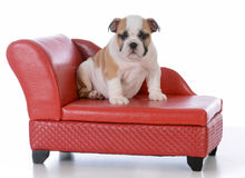 Puppy sitting on a dog couch Royalty Free Stock Photography