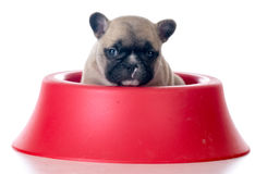 Puppy sitting in a food bowl Stock Photo