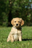 Puppy sitting in garden Royalty Free Stock Image