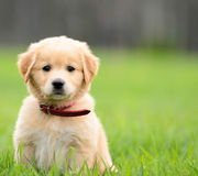 Puppy Sitting In the grass. With copyspace on the right Royalty Free Stock Photos