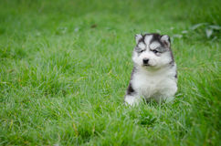 Puppy Sitting In the grass with copyspace Royalty Free Stock Images