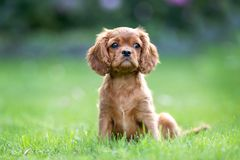Puppy sitting on the green grass royalty free stock photos