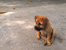 Puppy sitting on the ground. Puppies sitting on the floor and smiling happily.. Songkhla, Thailand Stock Images