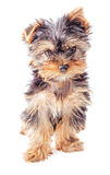 Puppy sitting isolated Royalty Free Stock Image