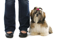 Puppy sitting beside owner Royalty Free Stock Photography