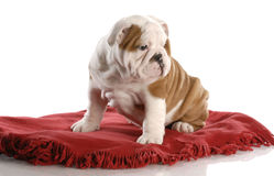 Puppy sitting on red blanket Royalty Free Stock Photos