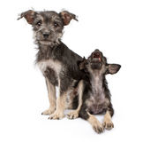 Puppy sitting on top of another one Stock Image