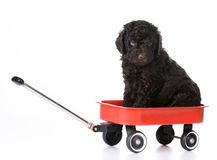 Puppy sitting in wagon Stock Images