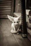 Puppy sitting on wooden floor with wide opened eyes and big ears Royalty Free Stock Photo