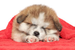 Puppy sleep, covered with a blanket. Japanese Akita-inu puppy sleep, covered with red blanket Royalty Free Stock Images