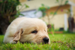 Puppy sleep on the grass. Puppy sleep on the grass with copy-space on the right Stock Photo