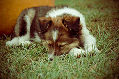 Puppy sleep on the grass with pumpkin. Puppy sleep on the grass with orange pumpkin Royalty Free Stock Photography