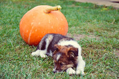 Puppy sleep on the grass with pumpkin. Puppy sleep on the grass with orange pumpkin Royalty Free Stock Image