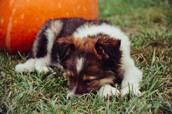 Puppy sleep on the grass with pumpkin. Puppy sleep on the grass with orange pumpkin Stock Image