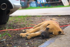 Puppy sleep on the ground. Royalty Free Stock Photo