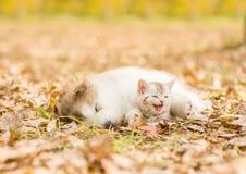 Puppy sleep with tabby kitten on the autumn foliage in the park.  Stock Photo