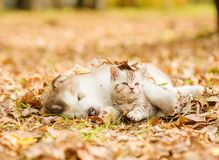 Puppy sleep with tabby kitten on the autumn foliage in the park Royalty Free Stock Photography