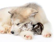 Puppy sleep with tiny kitten. isolated on white background.  Stock Image