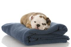 Puppy sleeping Royalty Free Stock Image