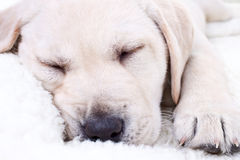 Dog Sleeping on Bed. Labrador retriever puppy dog sleeping on bed Royalty Free Stock Photography
