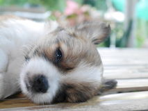 A puppy sleeping Royalty Free Stock Photo