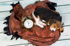 Puppy sleeping with alarm clock Royalty Free Stock Photos