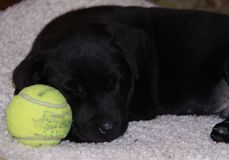 Puppy sleeping with ball. Pup curled up asleep with tennis Stock Image
