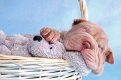 Puppy Sleeping in Basket Stock Images