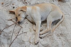 Puppy sleeping on the beach. Cute little dog sleeping on the beach on ko lipe island, thailand Royalty Free Stock Image