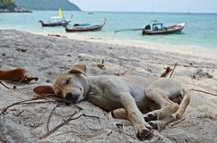 Puppy sleeping on the beach. Cute little puppy sleeping on the beach of ko lipe island, thailand Royalty Free Stock Images