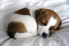 Puppy sleeping on a bed Royalty Free Stock Image