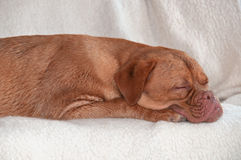 Puppy Sleeping on Comfy Sofa Stock Images