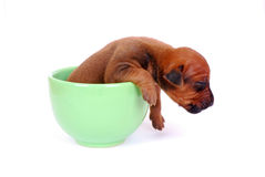 Puppy sleeping in a cup royalty free stock photography