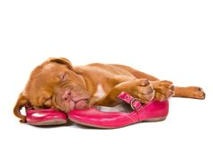 Puppy sleeping in Female Shoes Stock Images