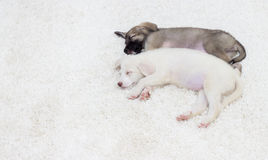 Puppy sleeping Royalty Free Stock Photo