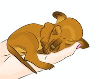Puppy Sleeping in Hand. Cute little adorable brown colored Dachshund Chihuahua mix chiweenie puppy dog sleeping in palm of hand Stock Photography