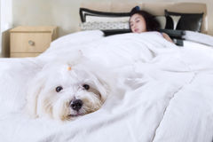 Puppy sleeping with his owner. Cute maltese dog accompanies his owner sleeping in the bedroom, shot at home Stock Photo