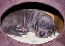 Free Puppy Sleeping In The New Home Stock Photo - 64292370