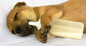 Puppy sleeping with milk baby bottle Stock Photography