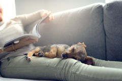 Puppy sleeping on owner laps stock photo