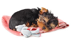 Puppy sleeping on pink towel Royalty Free Stock Image