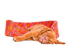 Puppy Sleeping in Puppy Cot Stock Images