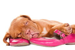 Puppy sleeping on shoes Royalty Free Stock Photo