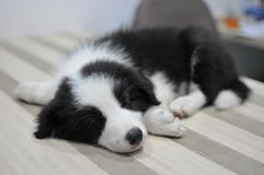 Puppy sleeping on the table. Young border collie sleeping on the table Royalty Free Stock Images