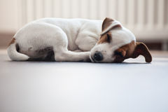 Puppy sleeping Stock Photos