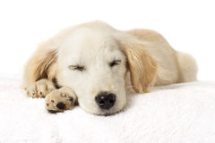 Puppy sleeping Stock Images