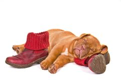 Puppy Sleeping in Winter Boots Royalty Free Stock Images
